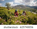Farmers Picking Up Roses At Th...