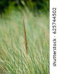 Dune Grass Spikes In Front Of...