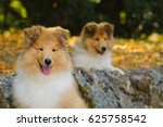 Portrait Of Two Rough Collie...