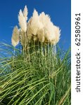 Large Bunch Of Pampas Grass...