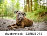 Boxer Dog Breed Lying In Forest
