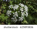 umbel with flowers of cow... | Shutterstock . vector #625893836