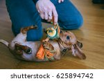 Stock photo  months old smooth hair brown dachshund puppy playing with the owner on the floor at home 625894742