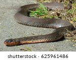 Red Bellied Water Snake