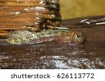 Small photo of Air-breathing fish (Andamia tetradactyla) in Japan