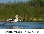 white pelican taking off from... | Shutterstock . vector #62625610