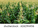 corn field have flowers  crane... | Shutterstock . vector #626294456
