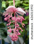 Small photo of Medinilla speciosa, common name Showy Asian Grapes, is a perennial epiphytic plant in the genus Medinilla, belonging to the Melastomataceae family.