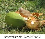Small photo of Jungle babbler eating coconut