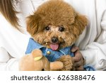 hold the poodle by the owner | Shutterstock . vector #626388476