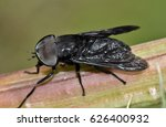 A Large Male Black Horse Fly ...