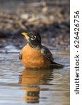 Small photo of American robin bathing