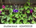 Violet Morning Glory Flowers I...