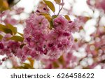 branch of blossoming japanese... | Shutterstock . vector #626458622