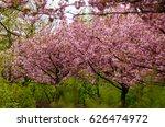 trees of  japanese cherry in... | Shutterstock . vector #626474972