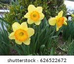 Small photo of Narcissus assoanus dufour (common name rush-leaf jonquil) is a perennial bulbous plant. Clade: Angiosperms Clade: Monocots Order: Asparagales Family: Amaryllidaceae Subfamily: Amaryllidoideae