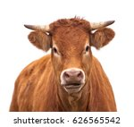 Portrait Of A Cow Grown For...