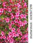 Lovely Blossoming Pink Azalea...