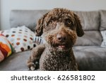 Brown Spanish Water Dog With...