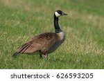 A Canada Goose Is Standing On ...