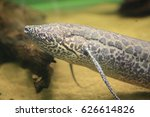 Small photo of African Lungfish (Protopterus aethiopicus) in Africa