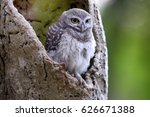 the spotted owlet  athene brama ... | Shutterstock . vector #626671388