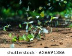 Group Of Butterflies Puddling...