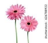 gerbera flower isolated on... | Shutterstock .eps vector #626788922