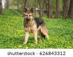dog breed german shepherd on... | Shutterstock . vector #626843312