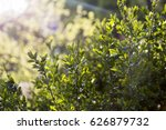 Small photo of Green leaves of hedge at the park. Quickset of a park in spring time, fresh green leafs in focus.