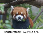 red panda  firefox or lesser... | Shutterstock . vector #626915576