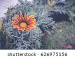 Colorful Gazania Flower