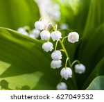 Lily Of The Valley  Convallari...