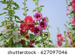 Close Up Of Hollyhock Flower