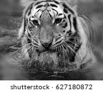 tiger close up  the tiger ... | Shutterstock . vector #627180872
