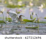Indian Pond Heron In Lotus...