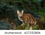 bengal cat hunting outdoor  on... | Shutterstock . vector #627252806
