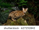 bengal cat hunting outdoor  on... | Shutterstock . vector #627252842