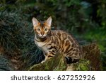 bengal cat hunting outdoor  on... | Shutterstock . vector #627252926