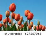 Red Orange Tulips Field ...