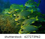 School Of Five Lined Snapper O...