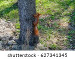 Red Squirrel Climbing Up In...