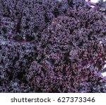 Freshly Harvested Purple Curly...