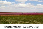 blossoming tulip fields in a... | Shutterstock . vector #627399212