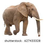 Large african elephant isolated ...