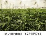 weed plants green house indoor... | Shutterstock . vector #627454766