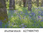 Blue Camas Wildflowers Bloomin...