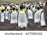 an adult king penguin incubates ... | Shutterstock . vector #627500102