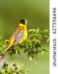 Stock photo cute singing bird green nature background bird on green branch black headed bunting 627556646