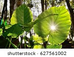 Small photo of Alocasia macrorrhiza with sunset sun and star effect visible